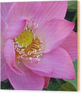 Pink Lotus Wood Print by Dan A  Barker