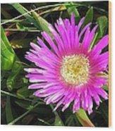 Pink Mesembryanthemum  Wood Print