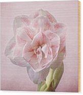 Pink Nymph Amaryllis Wood Print