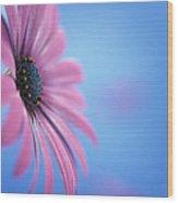 Pink Osteospermum Flower On Blue Wood Print