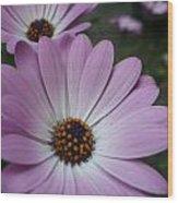 Pink Osteospermum Wood Print