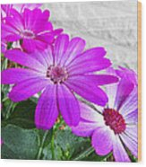 Pink Perciallis Ragwort Flower Art Prints Wood Print