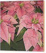Pink Poinsettias Close-up Wood Print