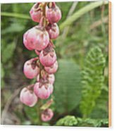 Pink Pyrola On Alpine Tundra Trail By Eielsen Visitor's Center In Denali Np-ak Wood Print