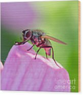 Pink Reflection On Flies Body. Wood Print