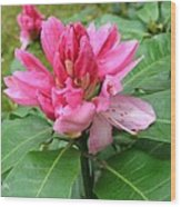 Pink Rhododendron Bud Wood Print