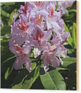 Pink Rhododendron In Sunshine Wood Print