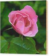 Pink Rose Volunteer Wood Print
