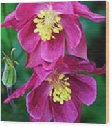 Pink Sensations Columbine Wood Print