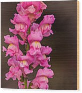 Pink Snapdragon Wood Print
