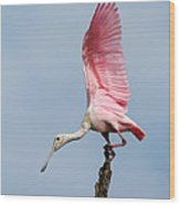 Pink Spoonbill Ready For Takeoff Wood Print