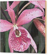 Pink Spotted Cattleya Orchids Wood Print