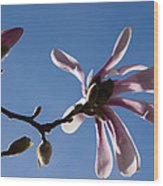 Pink Spring - Blue Sky And Magnolia Blossoms Wood Print