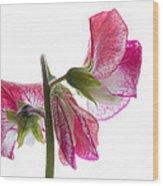 Pink Sweet Pea Wood Print