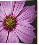 Pink Tickseed  Wood Print