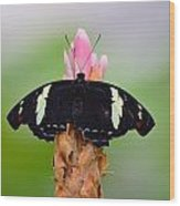 Pink Tip Butterfly Wood Print