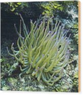 Pink Tipped Giant Sea Anemone Wood Print