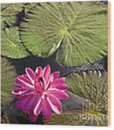 Pink Water Lily II Wood Print