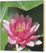 Pink Waterlily Wood Print