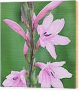 Pink Watsona  Wood Print