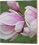 Pink White Wet Raindrops Magnolia Flowers Wood Print
