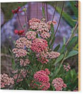 Pink Yarrow Wood Print