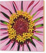 Pink Zinnia Macro Wood Print