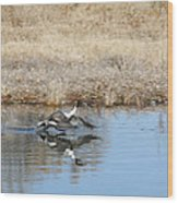 Pintail Takeoff From Water Wood Print