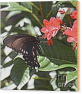 Pipevine Swallowtail IIi Wood Print