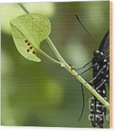 Pipevine Swallowtail Mother With Eggs Wood Print