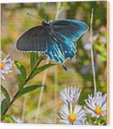 Pipevine Swallowtail On Asters Wood Print
