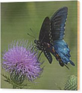 Pipevine Swallowtail Visiting Field Thistle Din158 Wood Print
