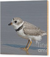 Piping Plover Charadrius Melodus Wood Print