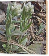 Plantain-leaved Pussytoes Wildflowers - Antennaria Plantaginifolia Wood Print