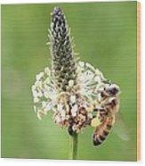 Plantain Pollen Wood Print
