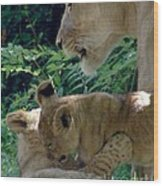 Playful Cubs Wood Print