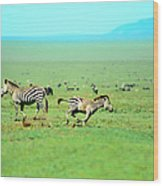Playfull Zebras Wood Print