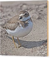 Plover Lover.. Wood Print