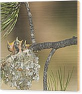 Plumbeous Vireo Begging Arizona Wood Print by Tom Vezo