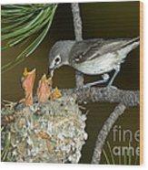 Plumbeous Vireo Feeding Chicks In Nest Wood Print