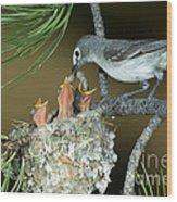 Plumbeous Vireo Feeding Worm To Chicks Wood Print