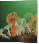 Plumose Anemone In Puget Sound Wood Print