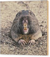 Pocket Gopher Chatting Wood Print