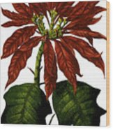 Poinsettia A Traditional Christmas Plant Vintage Poster Wood Print