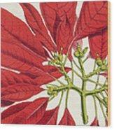 Poinsettia Pulcherrima Wood Print by WG Smith