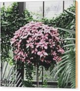 Poinsettia Tree Longwood Gardens Wood Print