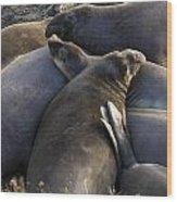 Point Piedras Blancas Elephant Seals 2 Wood Print