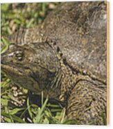 Pointed Nose Florida Softshell Turtle - Apalone Ferox Wood Print