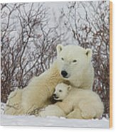 Polar Bear And 3 Month Old Cubs Wood Print
