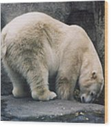 Polar Bear At Zoo Wood Print